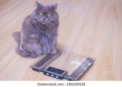 The gray big long-haired British cat sits near the scales and looks up. Concept weight gain during the New Year holidays, obesity, diet for the cat.