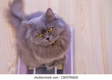 The gray big long-haired British cat sits on the scales and looks up. Concept weight gain during the New Year holidays, obesity, diet for the cat.