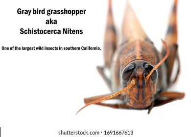 Gray Bird Grasshopper. Schistocerca Nitens. Locust. 100 mm Extreme Close Up view of the Gray Bird Grasshopper. Isolated on white. Room for text. Grasshoppers and Locust are dangerous to farmers.