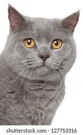 Gray British cat. Close-up portrait on white background