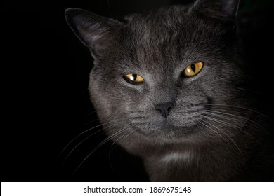 gray British cat on a black background, close-up portrait with yellow eyes.