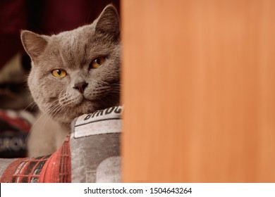 A gray british cat peeps out of the closet.