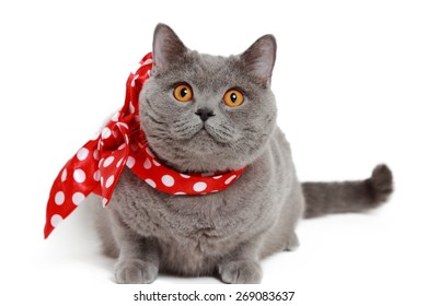 gray British cat with red bow