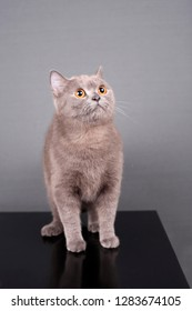 Gray British cat sits and looks up