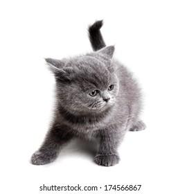 gray british kitten isolated on white background