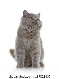 gray british long hair kitten on a white background, 4 month old