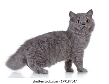 Gray british long hair kitten on a white background