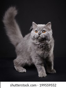 Gray british longhair kitten on black background, 4 month old