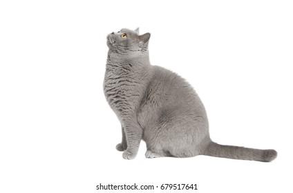 Eine grauschige, kurzhaarige Katze, die nach oben schaut, Hintergrund einzeln