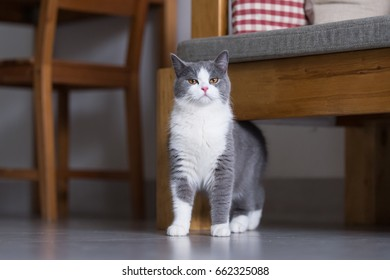 Gray British shorthair cats, indoors