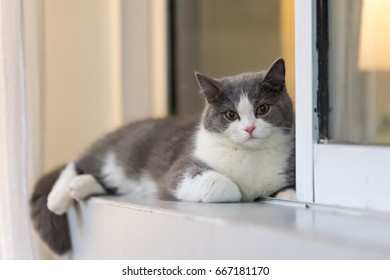 Gray British shorthair cats, indoors