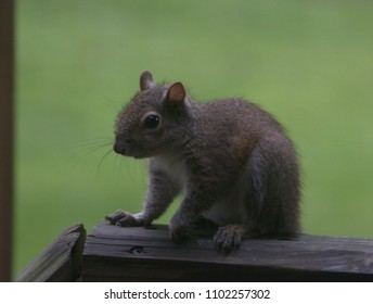 Gray and brown squirrel sitting on a wood rail