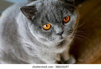 gray browneyed British Shorthair cat