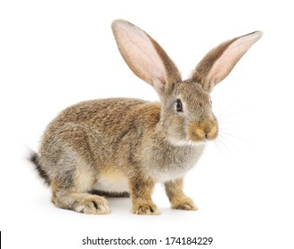 Gray bunny rabbit isolated against a white background.