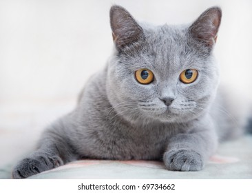 Gray cat of the British breed