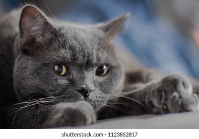 Gray cat, British breed, sad look, close-up