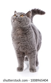 Gray cat british straight on a white background. Purebred cat.. Well-groomed kitten. Pet, comfort, love and serenity concept