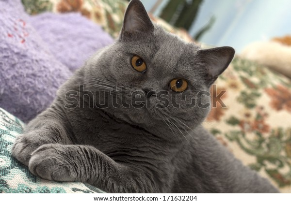 Gray cat with brown eyes.