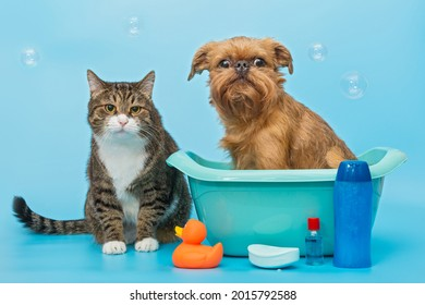 Gray cat and a Brussels Griffon dog wash on a blue background