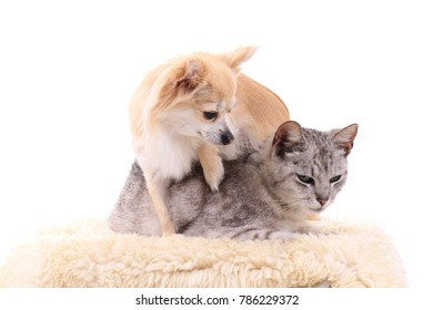 gray cat and chihuahua as friends together