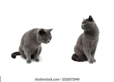 gray cat close-up on a white background. horizontal photo.