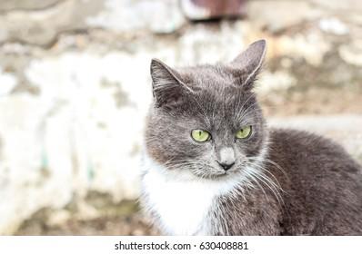 Gray cat discontent portrait