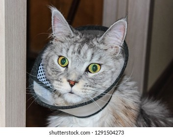 Gray cat in the Elizabethan collar around his neck. Treatment of animals.