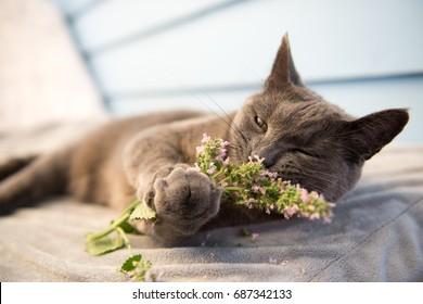 Gray Cat Enjoying Fresh Catnip Outside