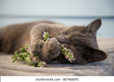 Gray Cat Enjoying Fresh Catnip Outside