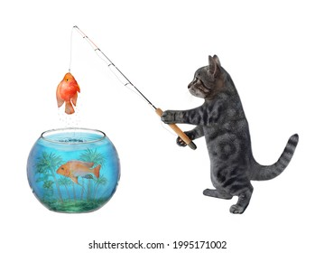 A gray cat is fishing from an aquarium ball. He caught a gold fish. White background. Isolated.