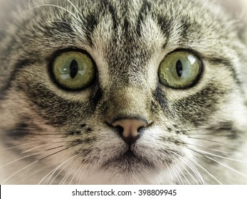 Gray cat, green eyes