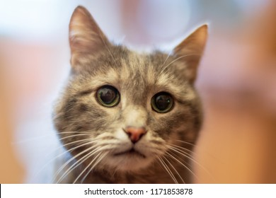 Gray cat with green eyes, close-up