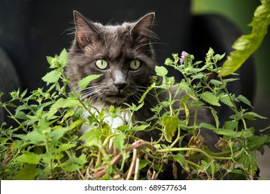 Gray cat with green eyes loves to eat catnip plant