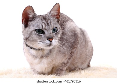 gray cat isolated on the white background