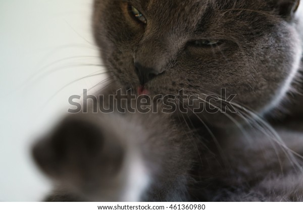 gray cat licking himself on window