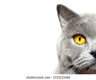 Gray cat is looking at you on a white background. Scottish breed. Half the head of the pet on the right.