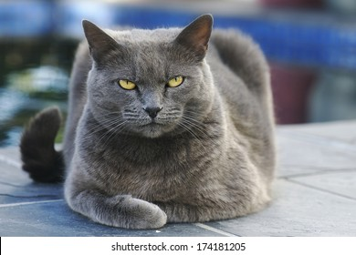 Gray cat lying and looking into the camera