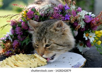Gray cat with meadow flower crown eat a cheese, at ligo festive in latvia