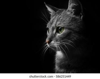 gray cat on a dark background, beautiful textured fur.
