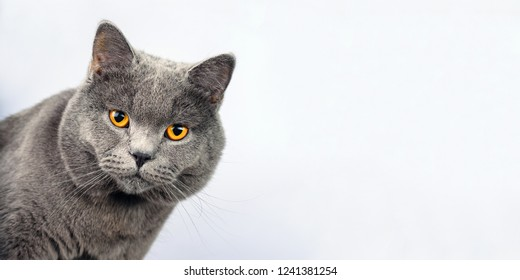 Gray cat on a white background, British shorthair scottish straight cat look in camera