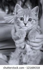 Gray cat. Pet. On hands.