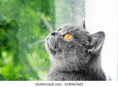 Gray cat Scottish breed looks out the window, green background, drops rain on the glass. Pets, purebred cats, nature protection.