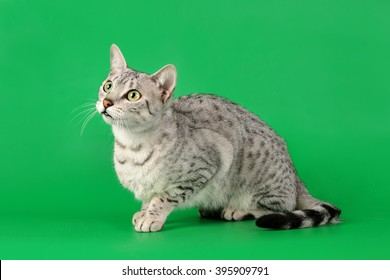 The gray cat sits ?????? paws on a green background and looks up.