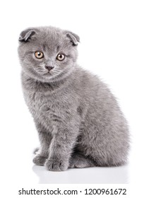 A gray cat sits sideways and looks at the camera. Isolated on a white background. Purebred kitten at the photo studio