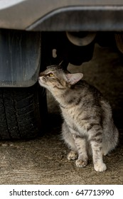 The gray cat sits under the car and looks away with a look that indicates distrust, disbelief, like a threatened person arrives.