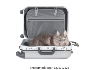 Gray cat in travel bag close uo isolated on white background