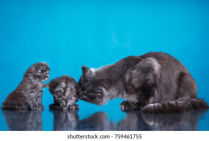 gray cat and two kittens together. May cunts are cute, tenderness