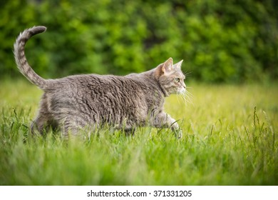 Gray cat walking on the green grass