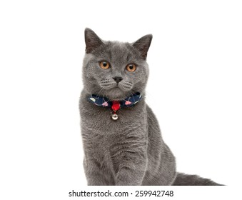 gray cat wearing a collar with bow and jingle isolated on a white background. horizontal photo.