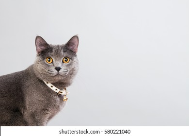 Gray cat in a white collar on a gray background